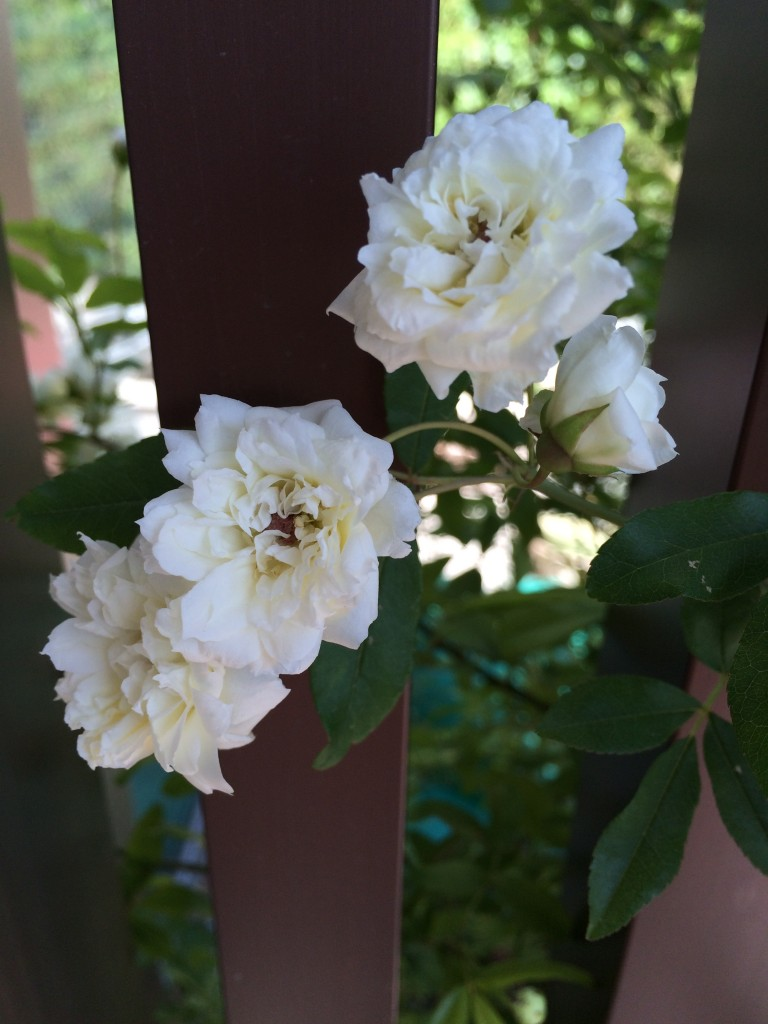 白モッコウバラ 開花