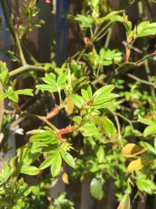 病害虫に強いバラでも注意すべき害虫、チュウレンジハバチの幼虫対策