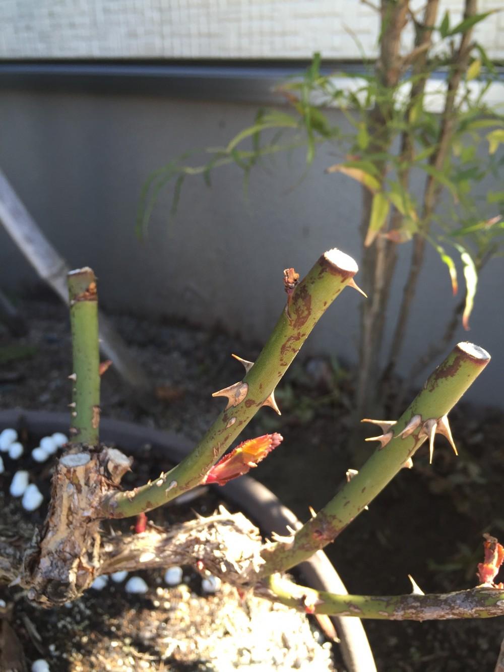 バラの芽吹きが弱いときはどうする?バラの芽が傷んだり枯れ込んだ場合の対処法