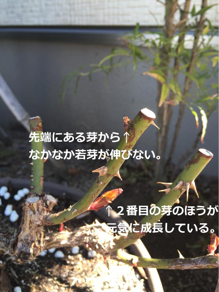 バラ 芽吹き