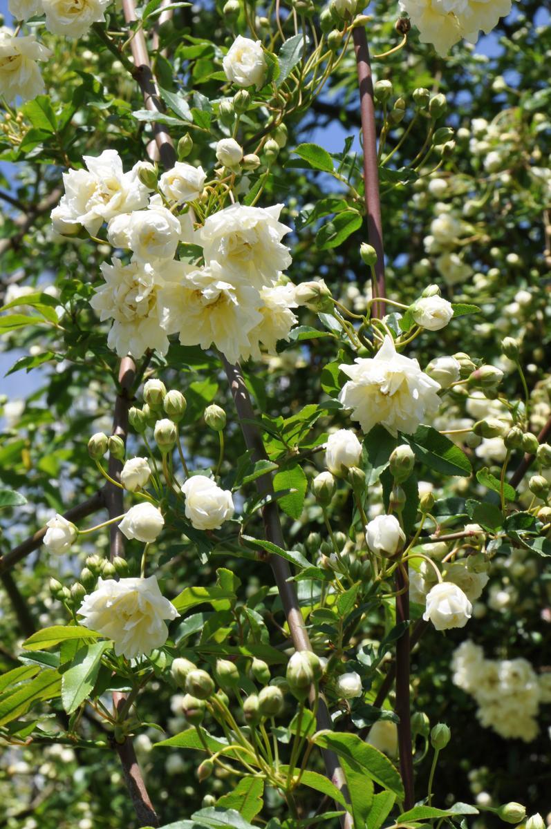 モッコウバラの育て方まとめ!花付きが良くなるモッコウバラの栽培方法
