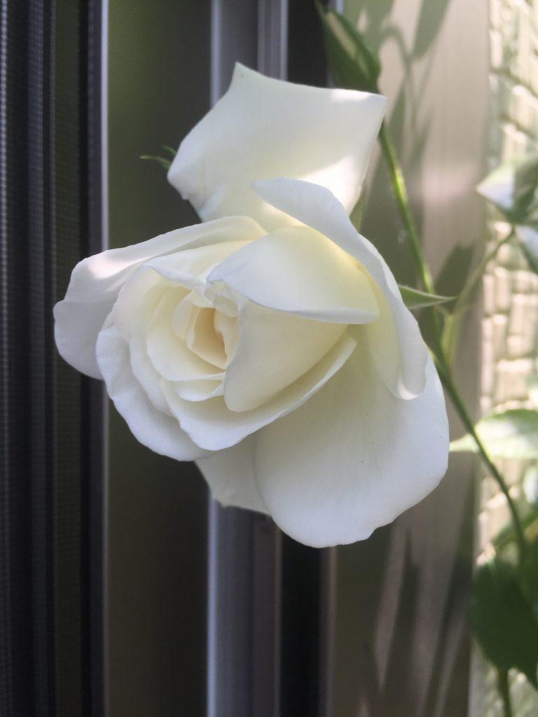 つるアイスバーグ バラ