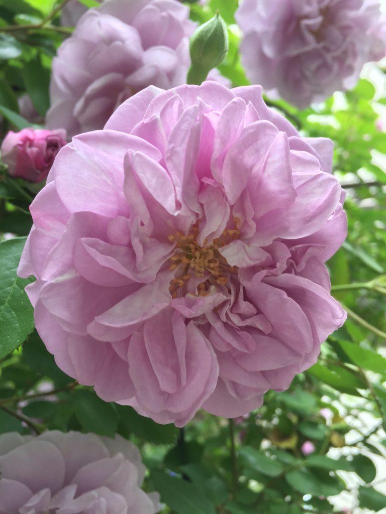 レインーブルー つるバラ