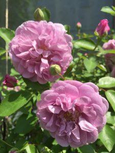 レイニーブルー つるバラ