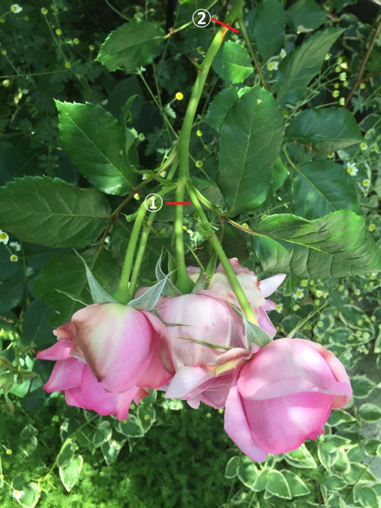 房咲き バラ 花がら切り