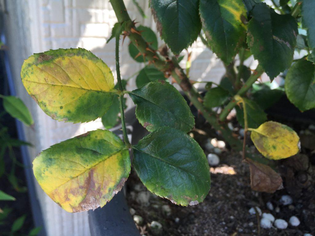 バラの下葉が黄色に!バラの葉が黄変した原因と対処方法は?