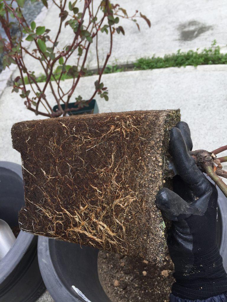 バラ 植え替え 鉢増し