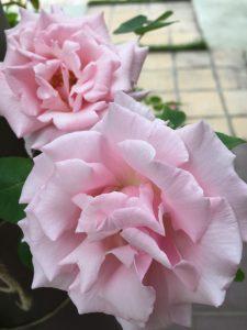 つるバラ キャスリーンハロップ