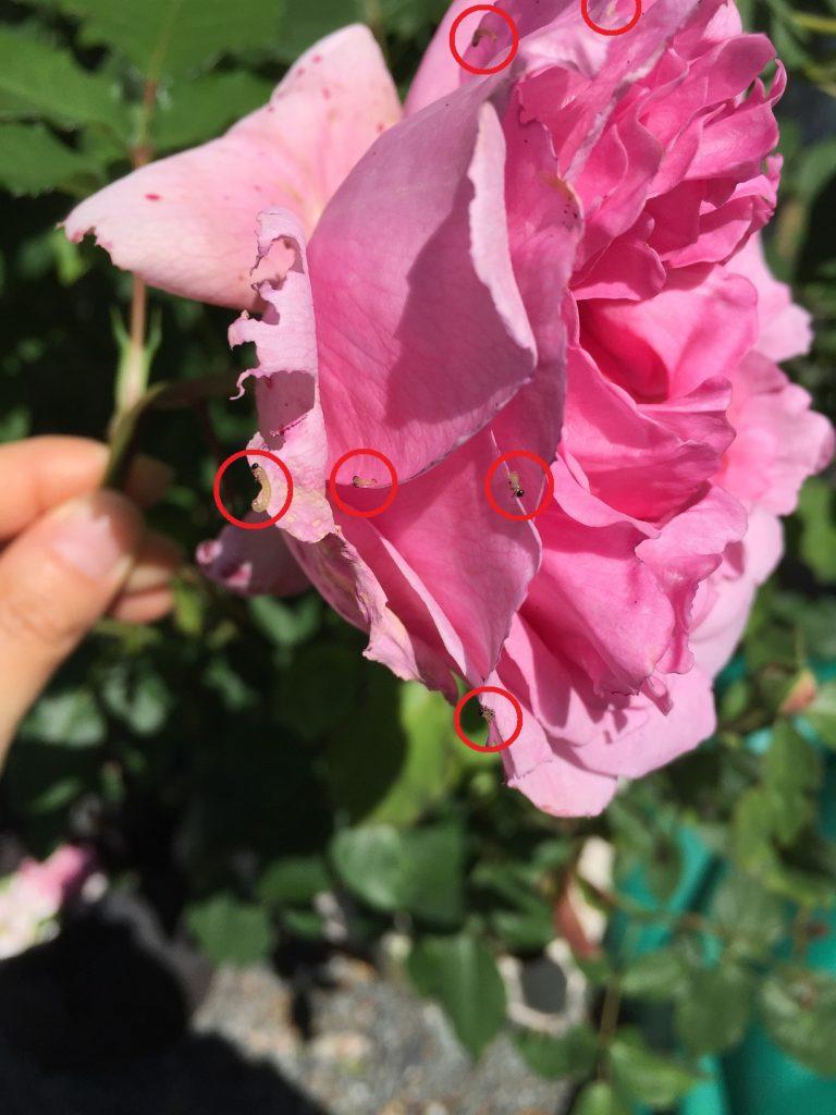 チュウレンジハバチ 幼虫 バラ