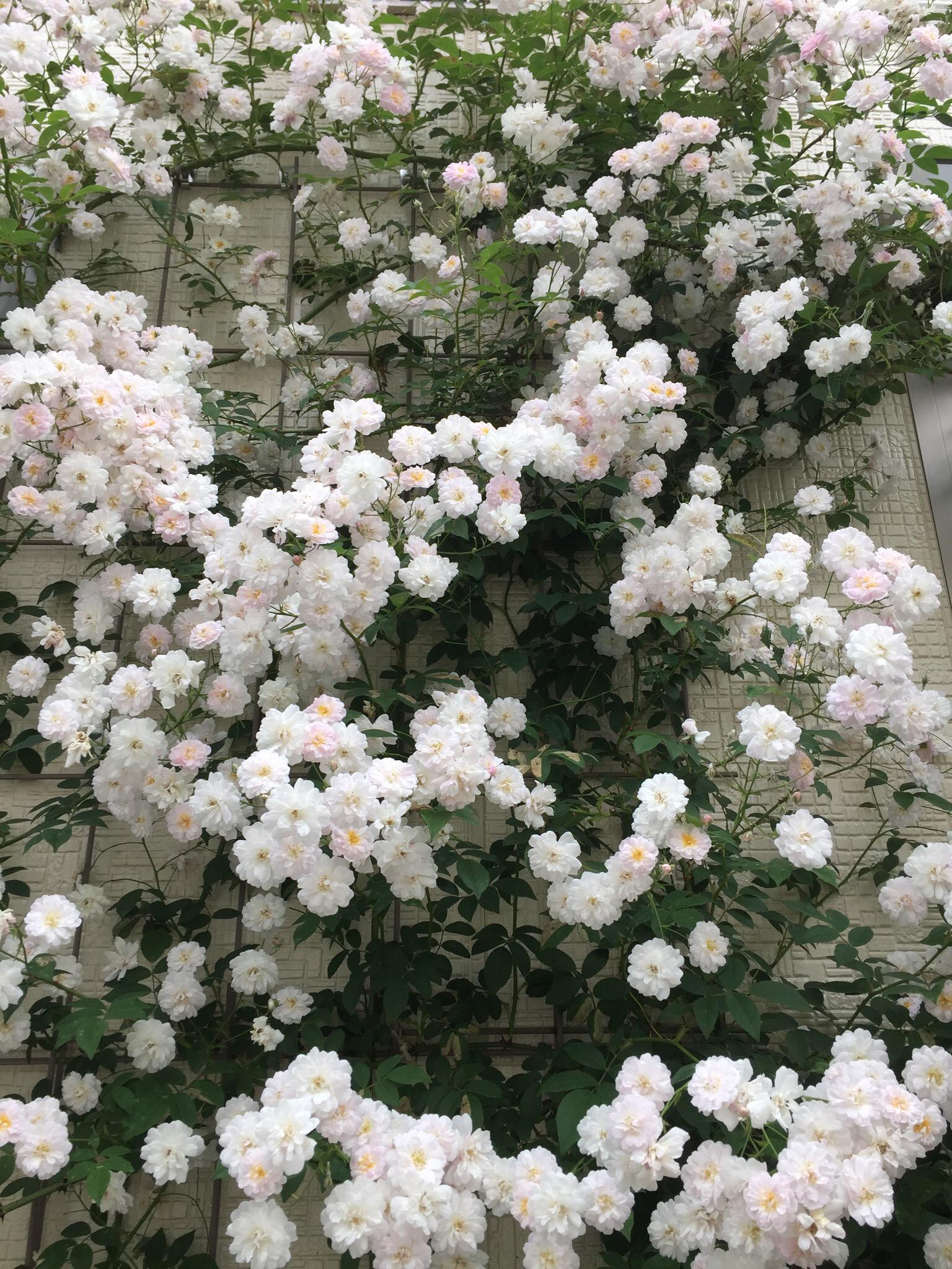 つるバラ ポールズヒマラヤンムスク