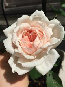 つるバラ マダムアルフレッドキャリエール