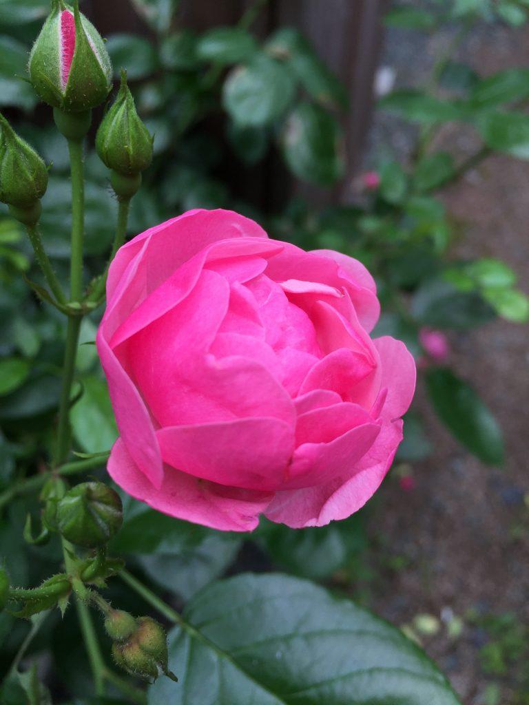 アンジェラ つるバラ