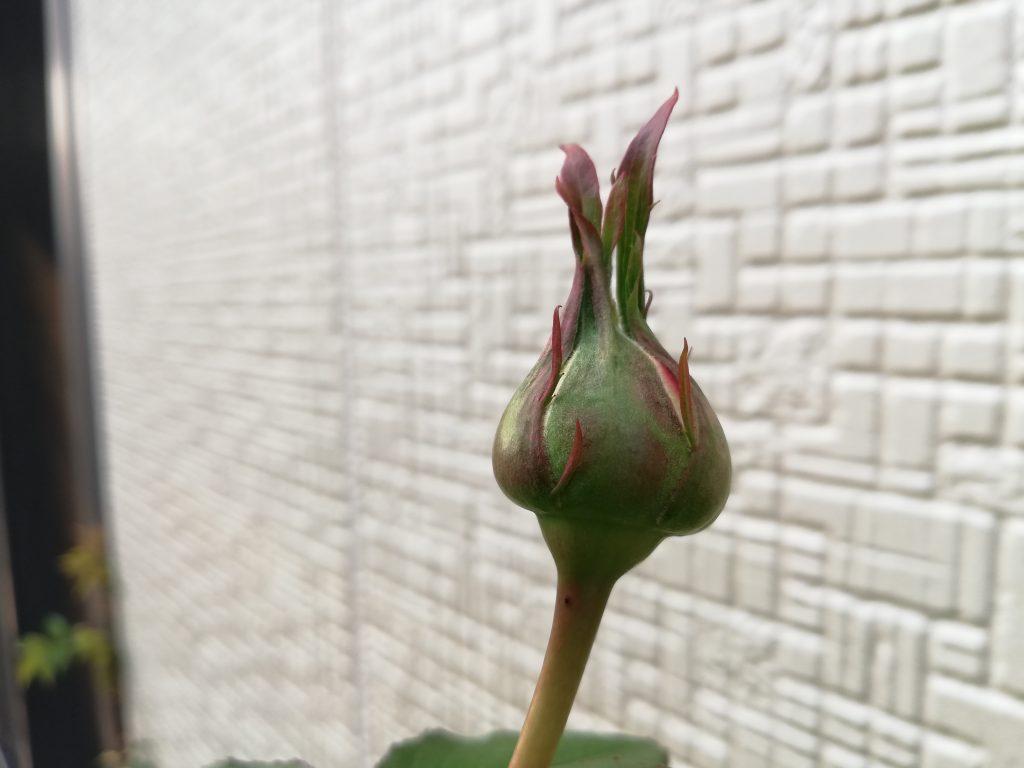つるバラ ピエールドゥロンサール つぼみ